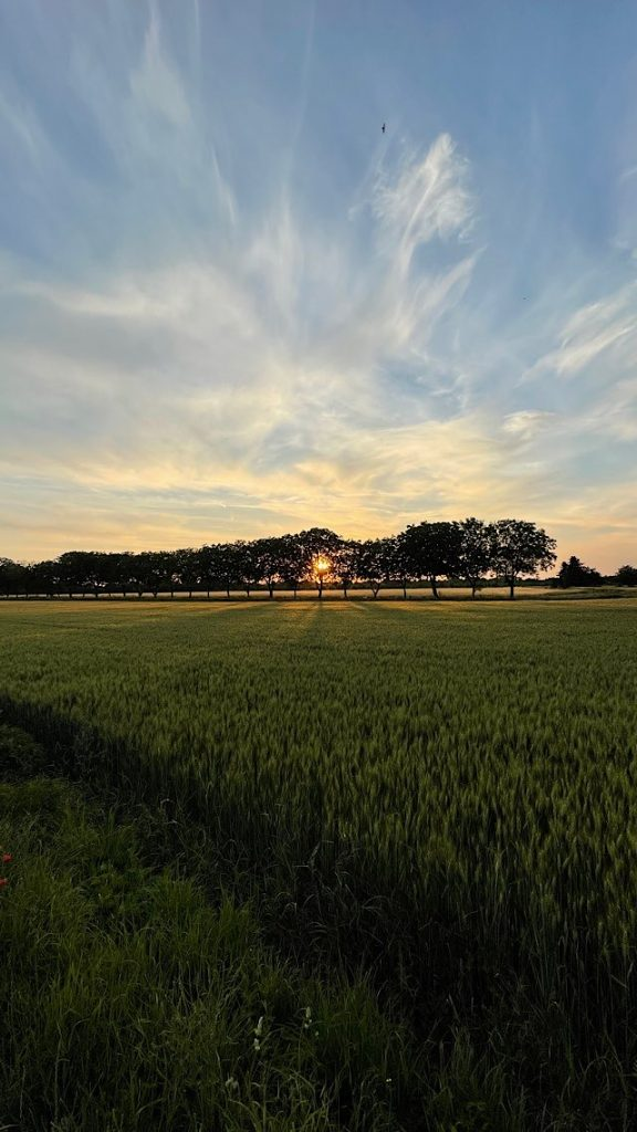 Kornfeld, Nußbäume
